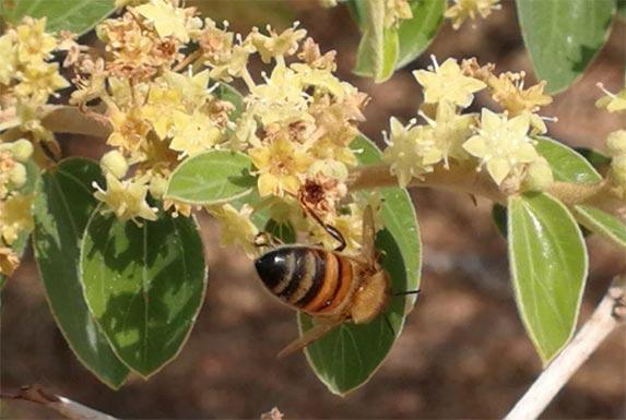 عسل کنار - گل دهی درخت کنار - گل دهی درخت سدر- فروشگاه محصولات کارنیکا