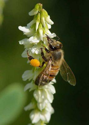 گرده گل یا گرده زنبور عسل سایت کارنیکا