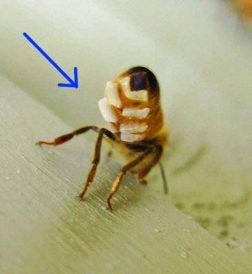 محل تولید موم روی بدن زنبور عسل - سایت کارنیکا
