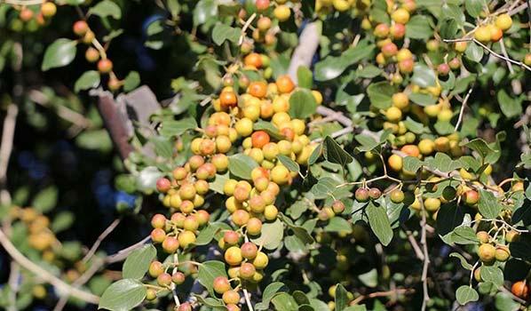 عسل کنار - درخت کنار - درخت سدر- فروشگاه محصولات کارنیکا
